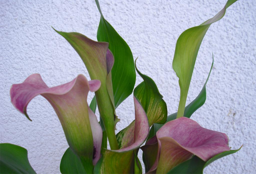 zantedeschien pflanzen lillypflanzen lilly. Black Bedroom Furniture Sets. Home Design Ideas